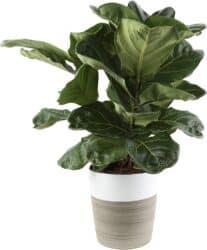 Ficus Lyrata Indoor Small Tree/Plant